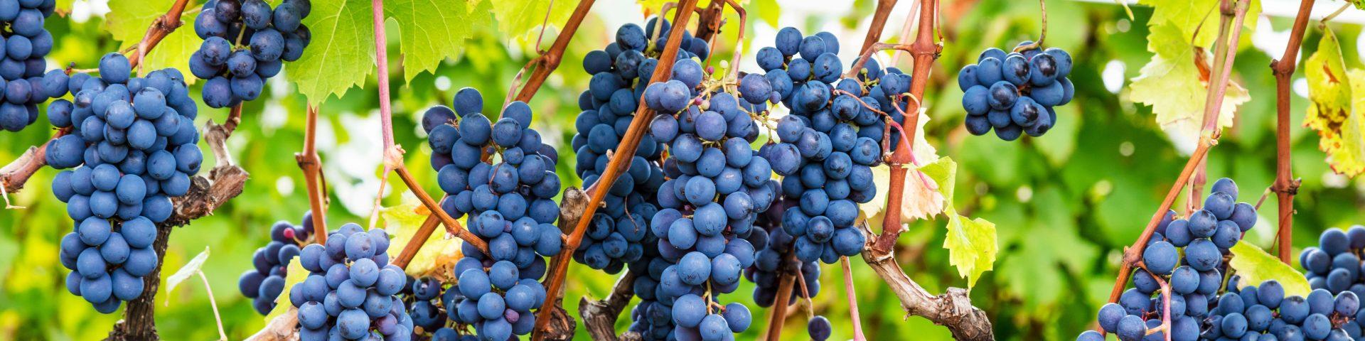 cachos de uvas pretas