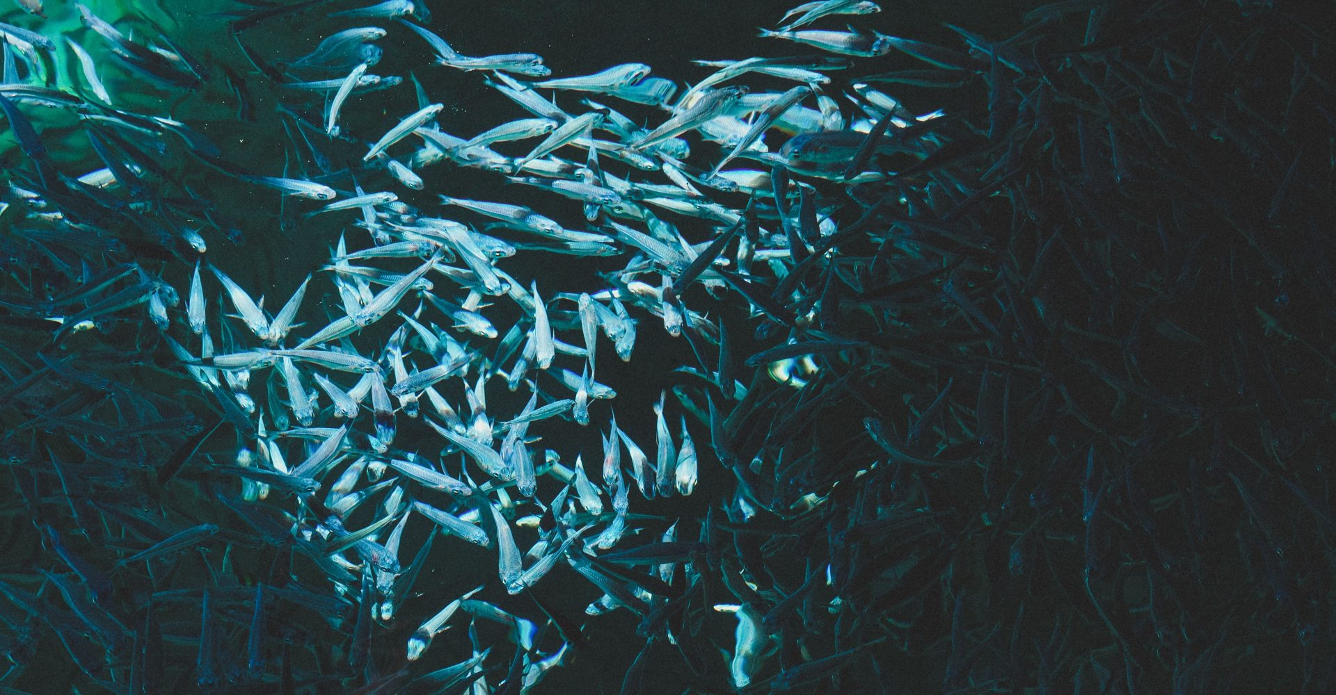 shoal of deep-sea fish